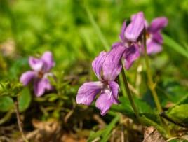 Pale violets