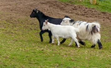 Hurst farm goats
