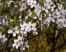 Belswardyne blossom