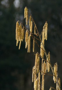 Catkins and forest