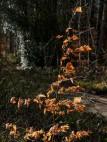Last year's beech leaves