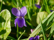 Violets in the sunshine