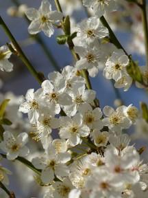 Balckthorn; white blossom; blue sky