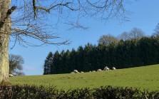 Hillside sheep