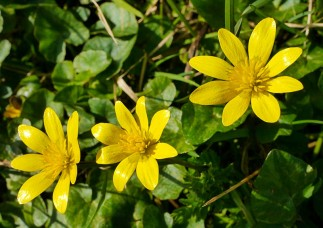 A closer look at celandines