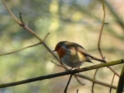 Shirlett robin
