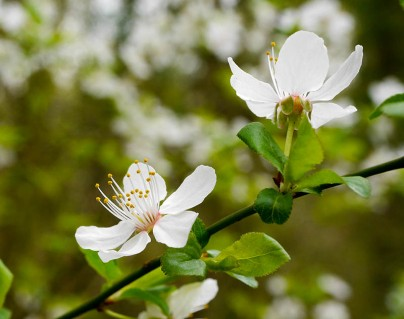 White blossom on blackthorn