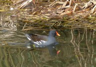 ... and resident moorhen