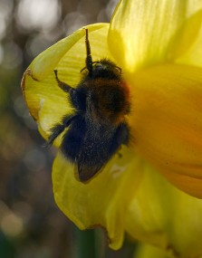 Hang on there! Bee on daffodil