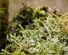 Fencepost lichen