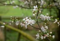 Barrow blossom