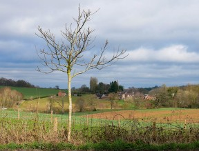 Walnut tree and Hurst Farm