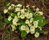 Profusion of primroses