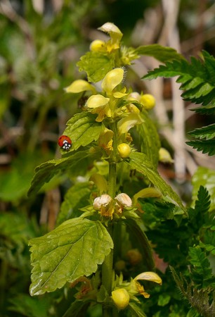 Yellow deadnettle (and ladybird!)