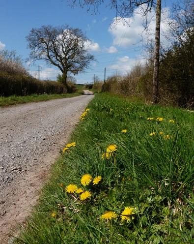 Dandelion yellow in Red Lane