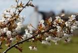 Inett cherry blossom