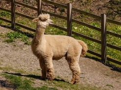 Sheinwood alpaca
