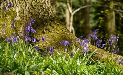 Bluebells among the trees