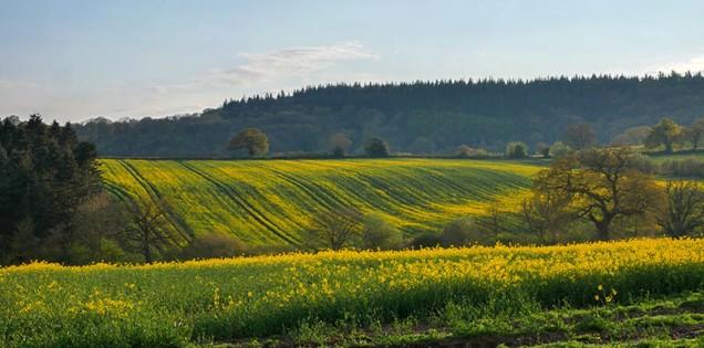 Fieldscape in yellow