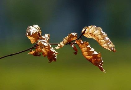 ...and old beech leaves
