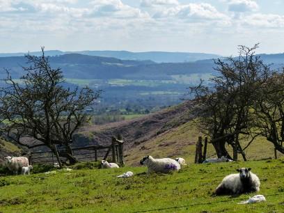 Sheep above Nant Valley