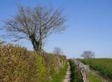 Blackthorn hedges
