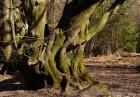 A fine old tree
