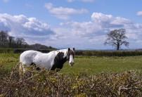 Posenhall horse