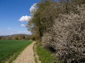 Drifts of blossom