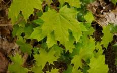 Sycamore saplings