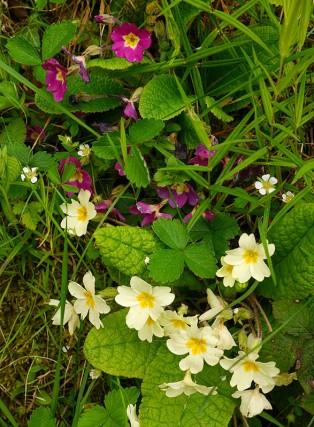 Primula (and wild strawberry)