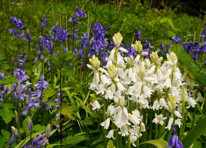 White and bluebells