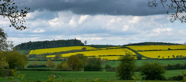 Ash Coppice and yellow fields