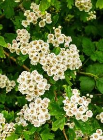 May blossom
