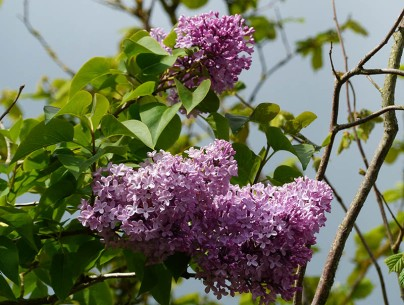 Lilac in the lane