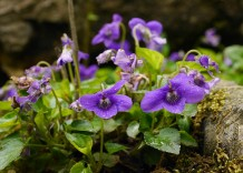 The violets are past their best