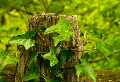 Ivy on a fence post