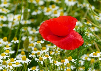 Cornfield poppy