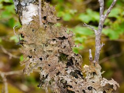 Lichen on the trees