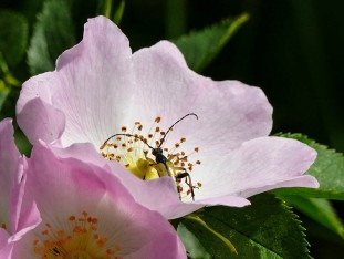 Wild rose and visitor