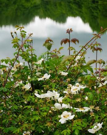Wild rose beside the lake