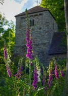 St Leonards' foxgloves