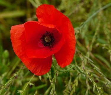 Red Lane poppy