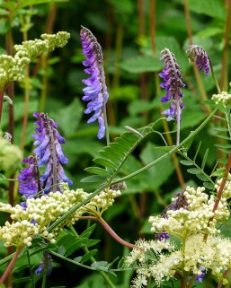Vetch and meadowsweet