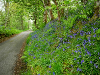 Bluebells by the community hall