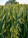 Wild oats in the wheat