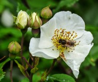 Bee on wild rose