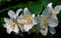 Scented blossom