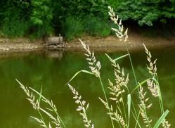 Grasses beside the Severn