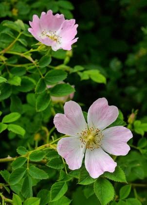 Wild rose in Benthall Lane
